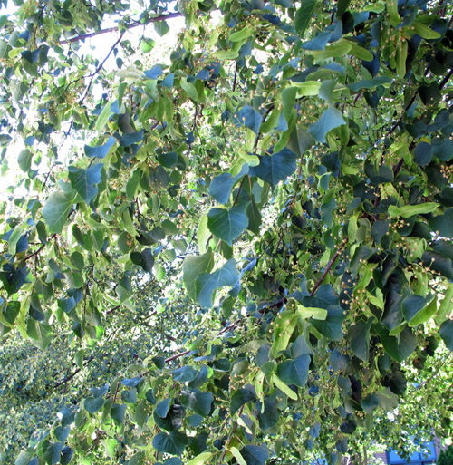 Blue-green-leaves
